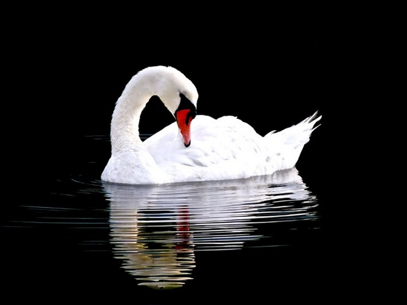 Tull_Swan_web
